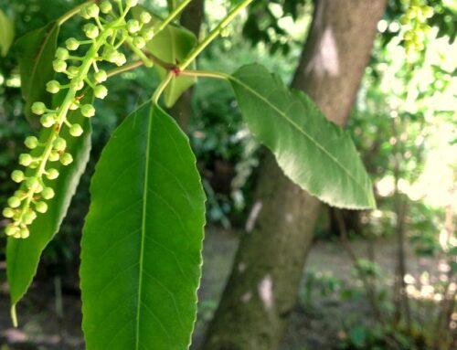 Árvores com história: Azereiro [Prunus lusitanica]