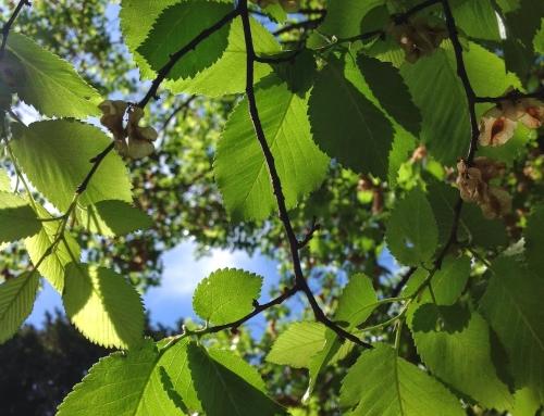 Árvores com história: Ulmeiro [Ulmus minor]