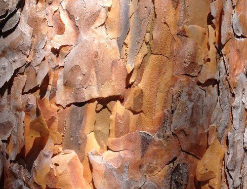 Pinheiro-de-casquinha [Pinus sylvestris L.]