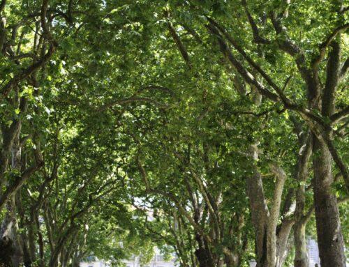 Estudo sobre a importância das Árvores Monumentais