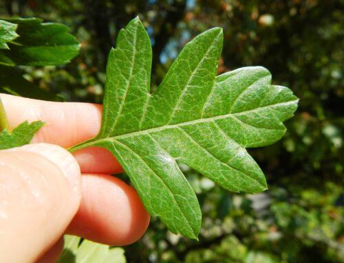 O que têm as nossas árvores a ver com a investigação médica de ponta?