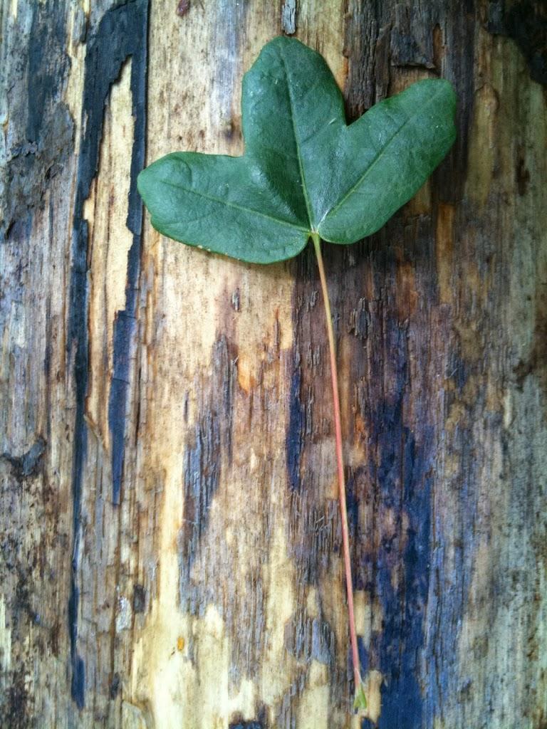 Árvores com história: Zêlha [Acer monspessulanum]