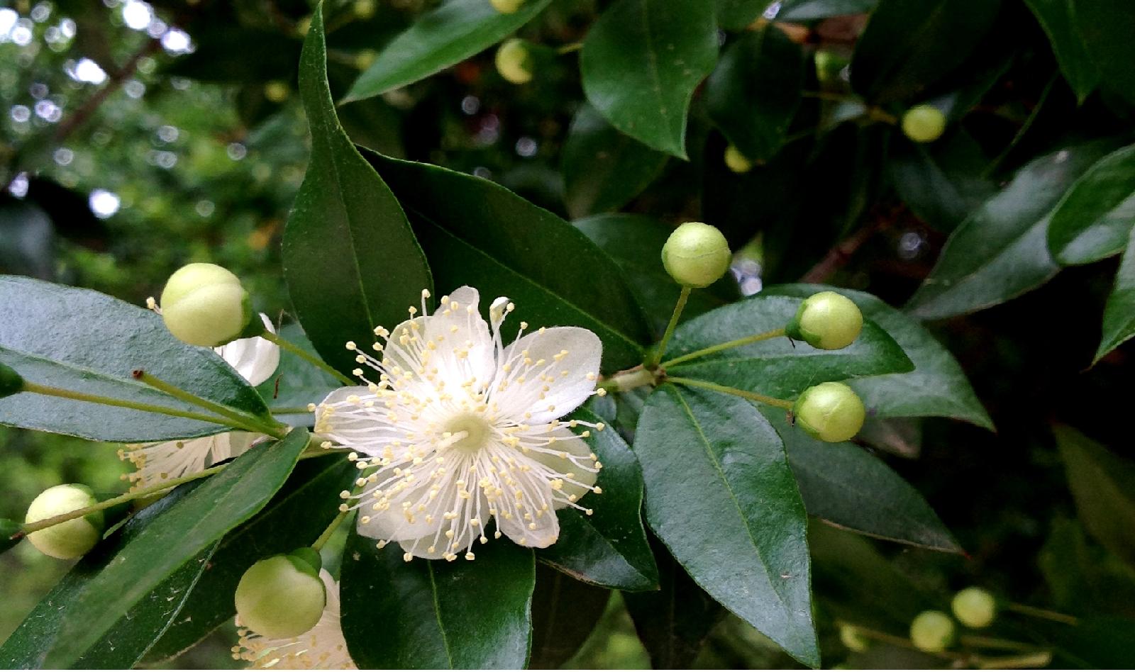 Murta [Myrtus communis]