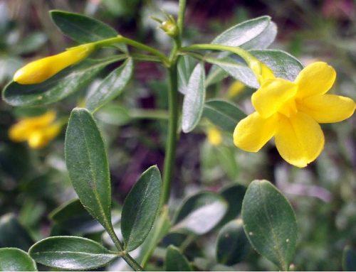 Jasmineiro-do-monte [Jasminum fruticans]